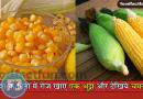 Corn Benefits बरसात में भुट्टे (कॉर्न) खाने के फायदे और नुकसान