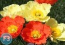 How To Make Crepe Paper Icelandic Poppies